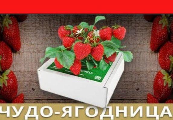 Чудо ягодница «Сказочный сбор»