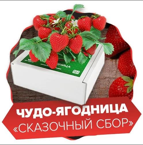 чудо ягодница